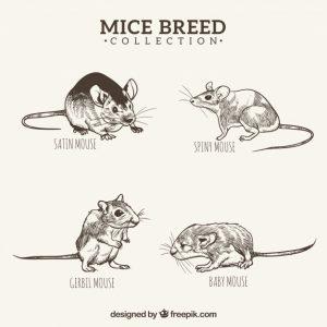 סוגי עכברים